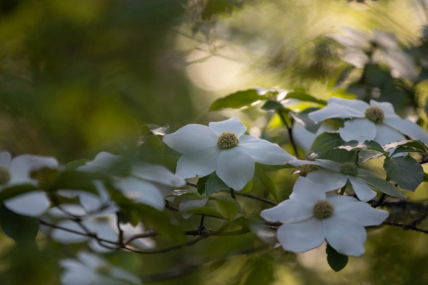 Cornus nuttallii, Oregon