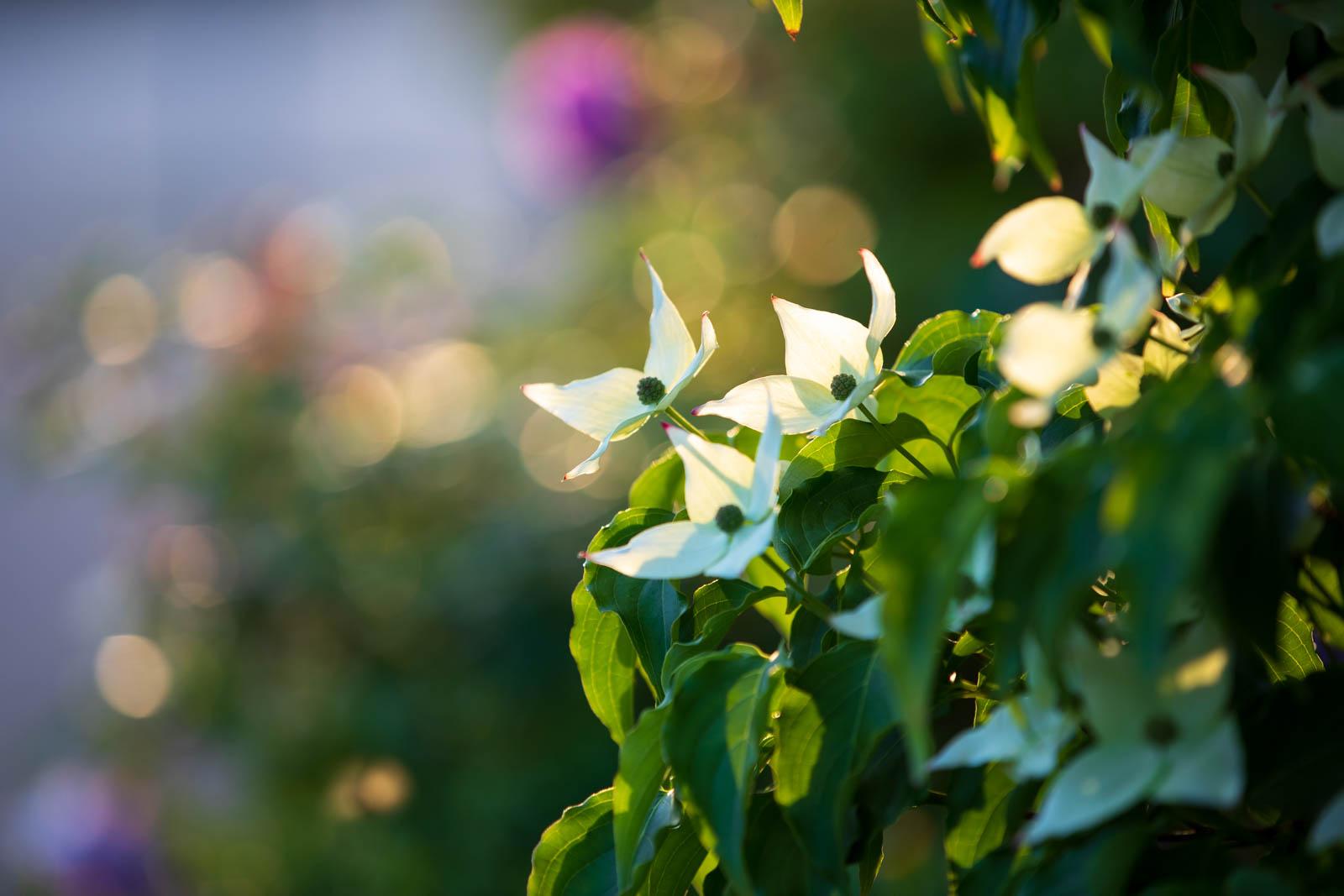 Photo: Cornus kousa in der Abendsonne