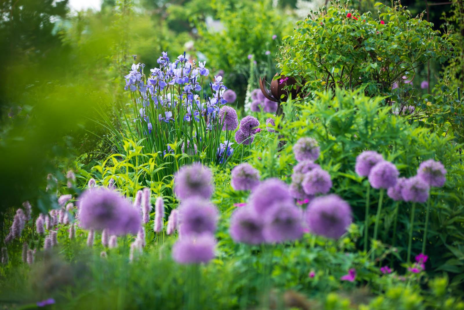 Photo: Allium mit Iris und Bistorta
