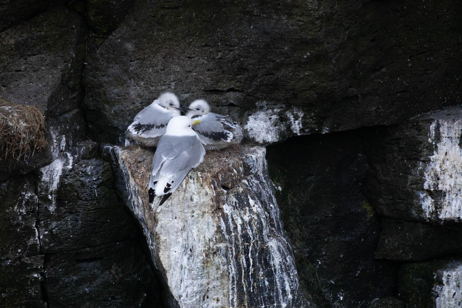 Photo: Dreizehenmöwen brüten an abenteuerlichen Plätzen