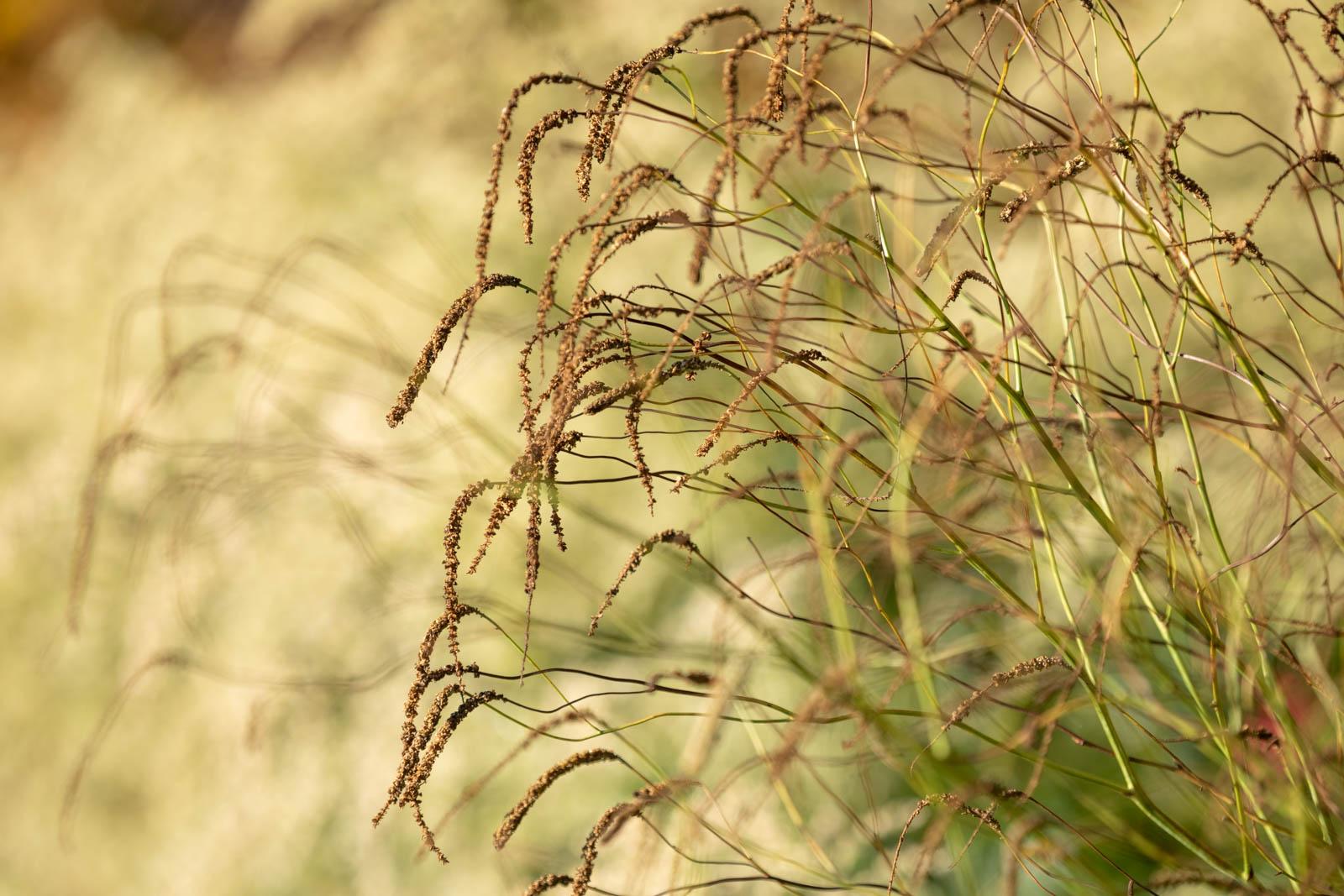 Photo: Längst verblüht heben sich die Sanguisorba ab vor dem Elfenbein der Artemisia