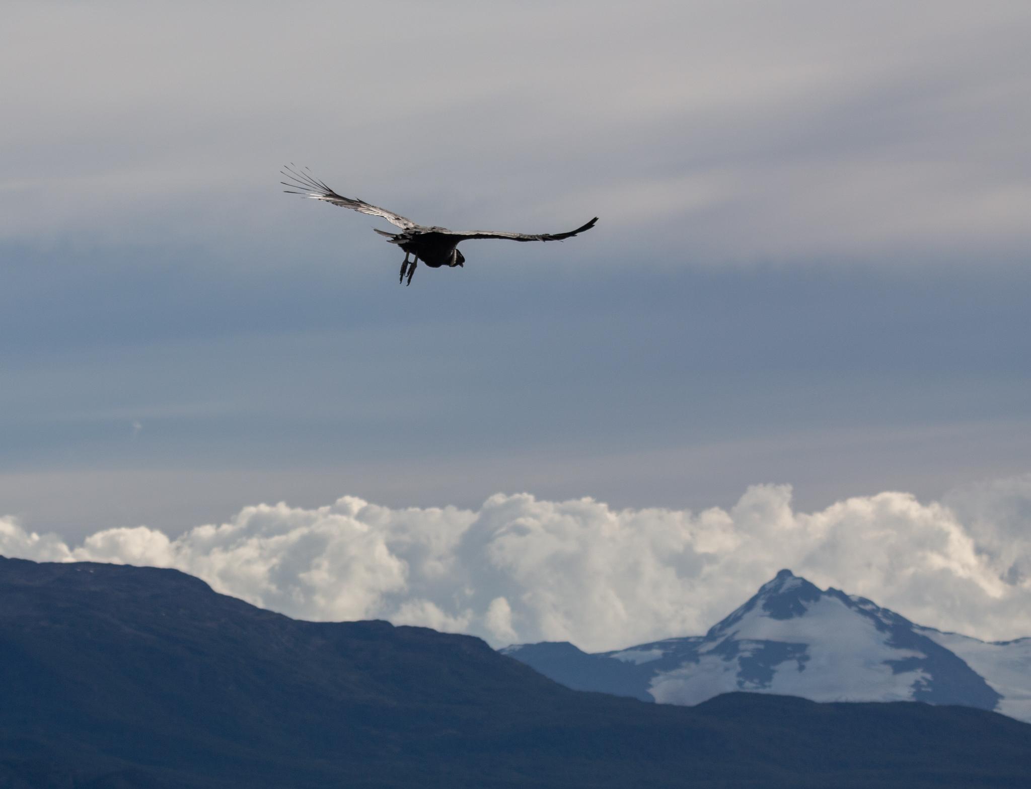 Photo: Das Condor-Männchen fliegt aus
