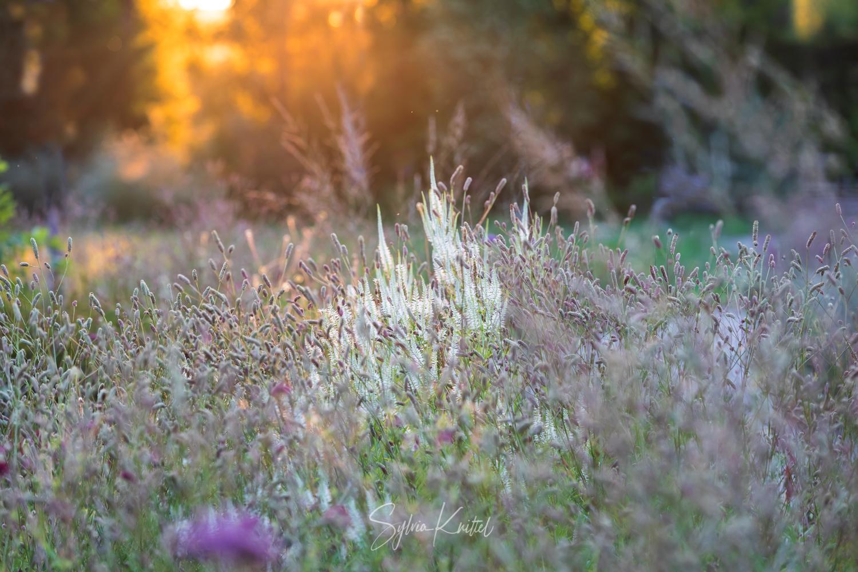 """Photo: Leuchten im Abendlicht: Veronicastrum virginicum und Sanguisorba tenuifolia """"Pink Elephant"""""""