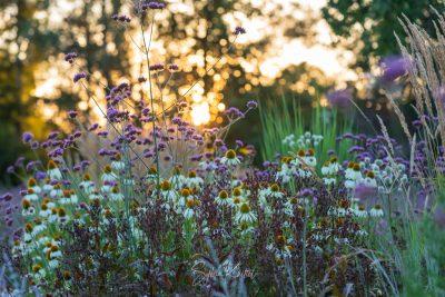 """Abendlicht, Böblingen, Echinacea purpurea """"Alba"""""""