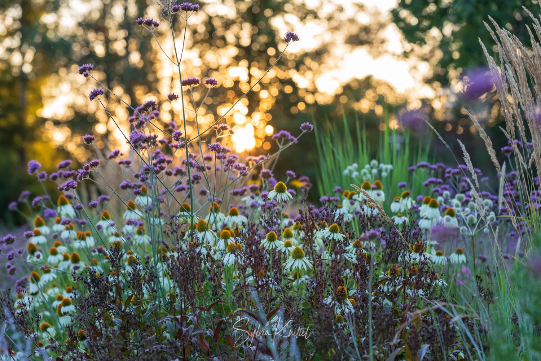 "Photo: Echinacea purpurea ""Alba"" und Verbena bonariensis"