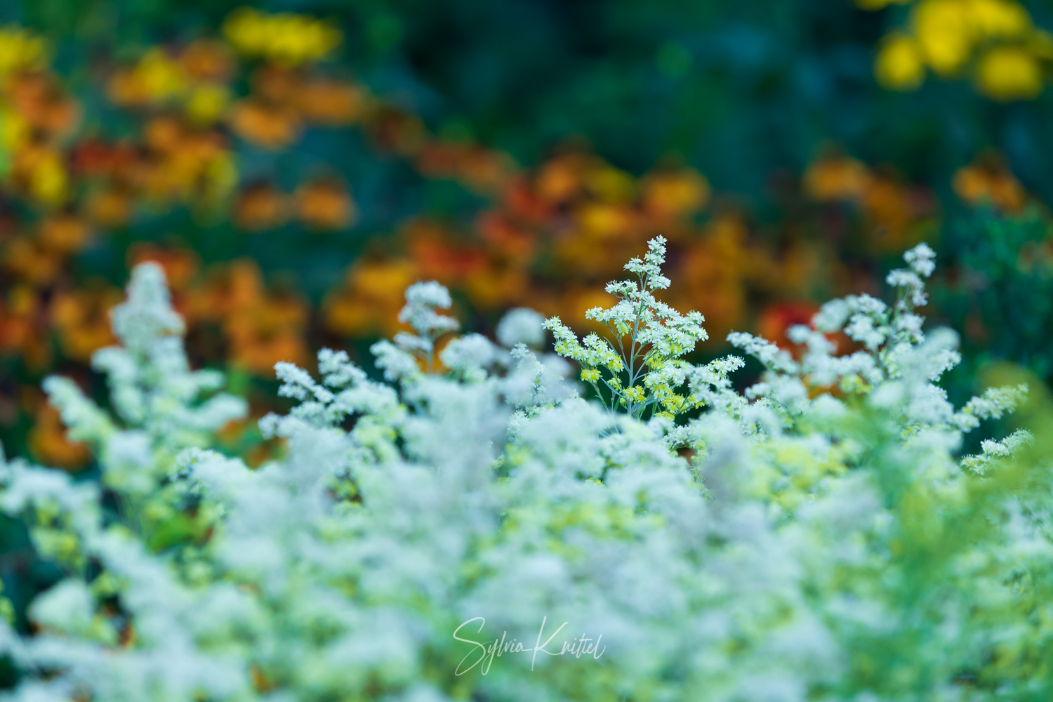 Photo: Solidago im Eiscreme-Look mit Helenium