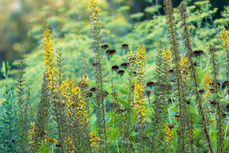Photo: Vertikal und horizontal: Ligularia und Foeniculum