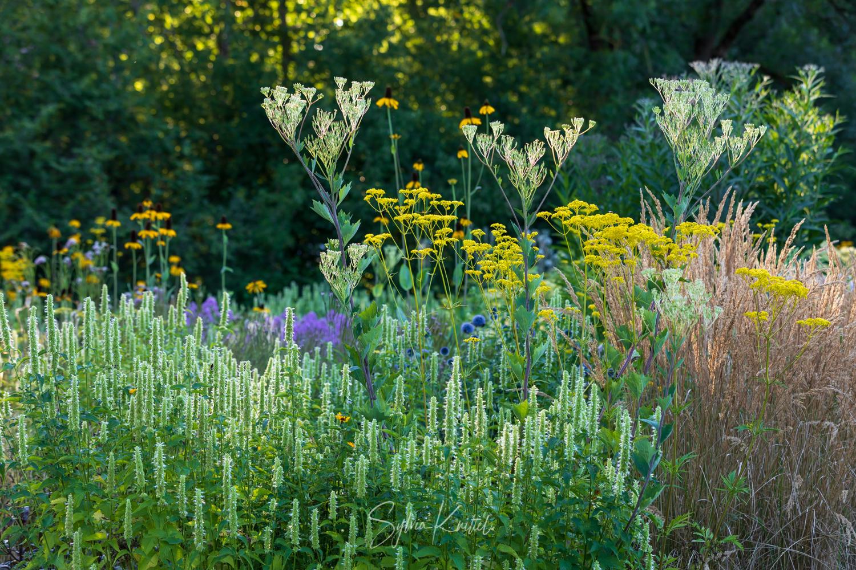 """Photo: Agastache rugosa """"Alabaster"""" bestimmt, dazu Arnoglossum atriplicifolium und Patrinia vor Calamagrostis """"Waldenbuch"""""""