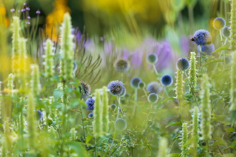 Photo: Echinops = Bienenweide. Die vertikale Struktur dahinter schafft Veronica hastata