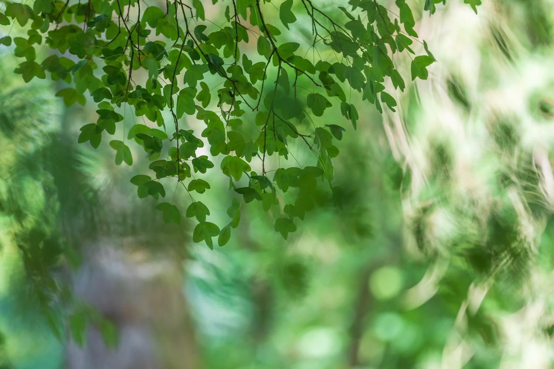 Photo: Acer monspessulanum